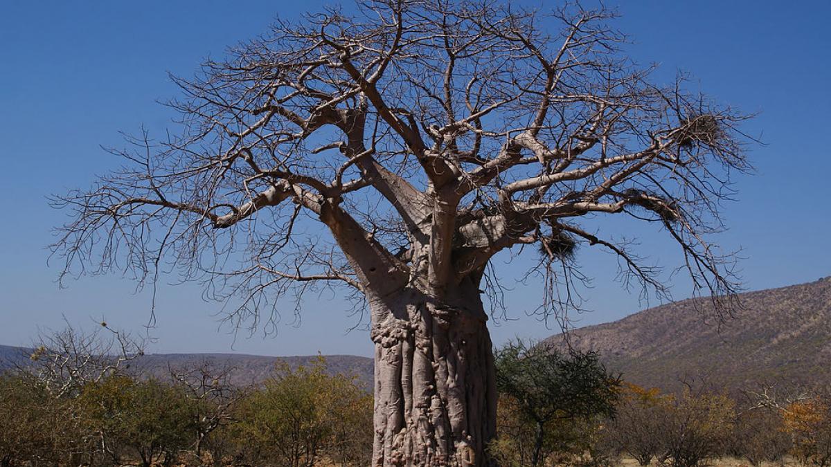 bandia baobab