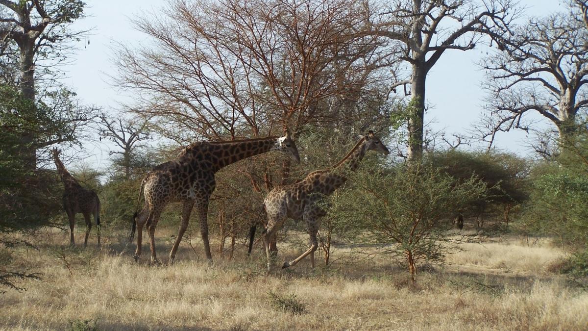 bandia giraffe