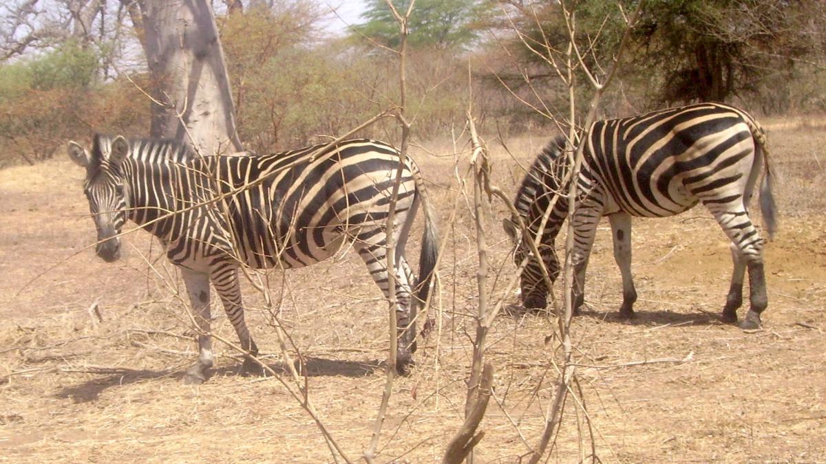 bandia zebre