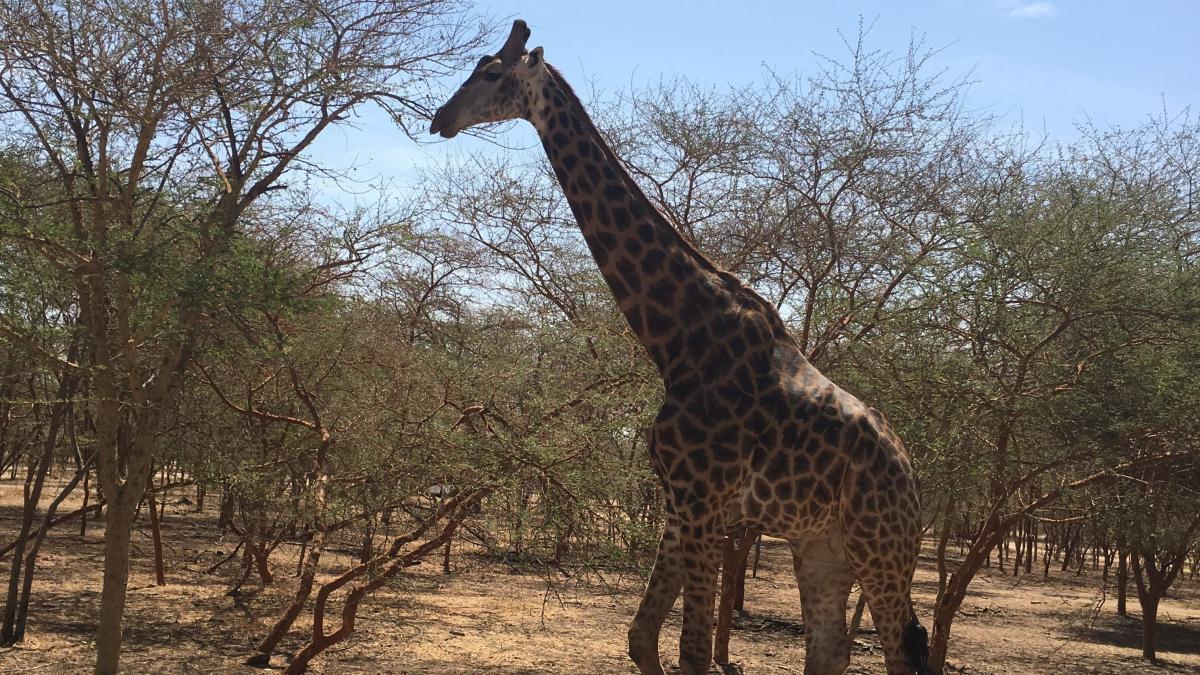 bandia giraffa