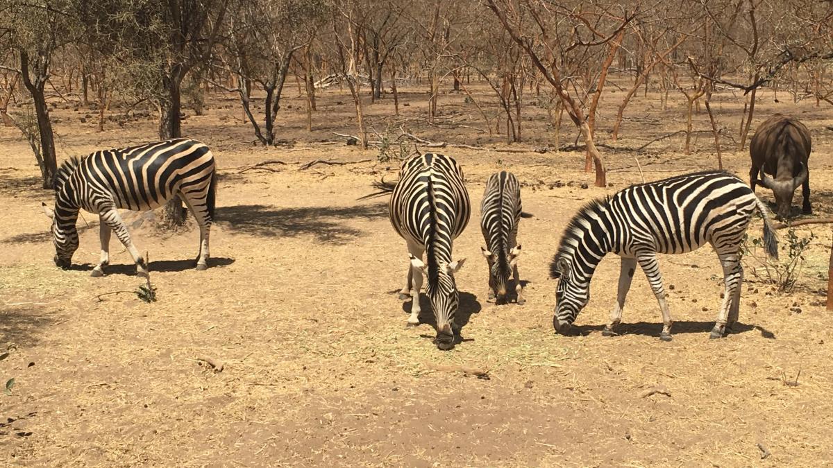 bandia zebre 2