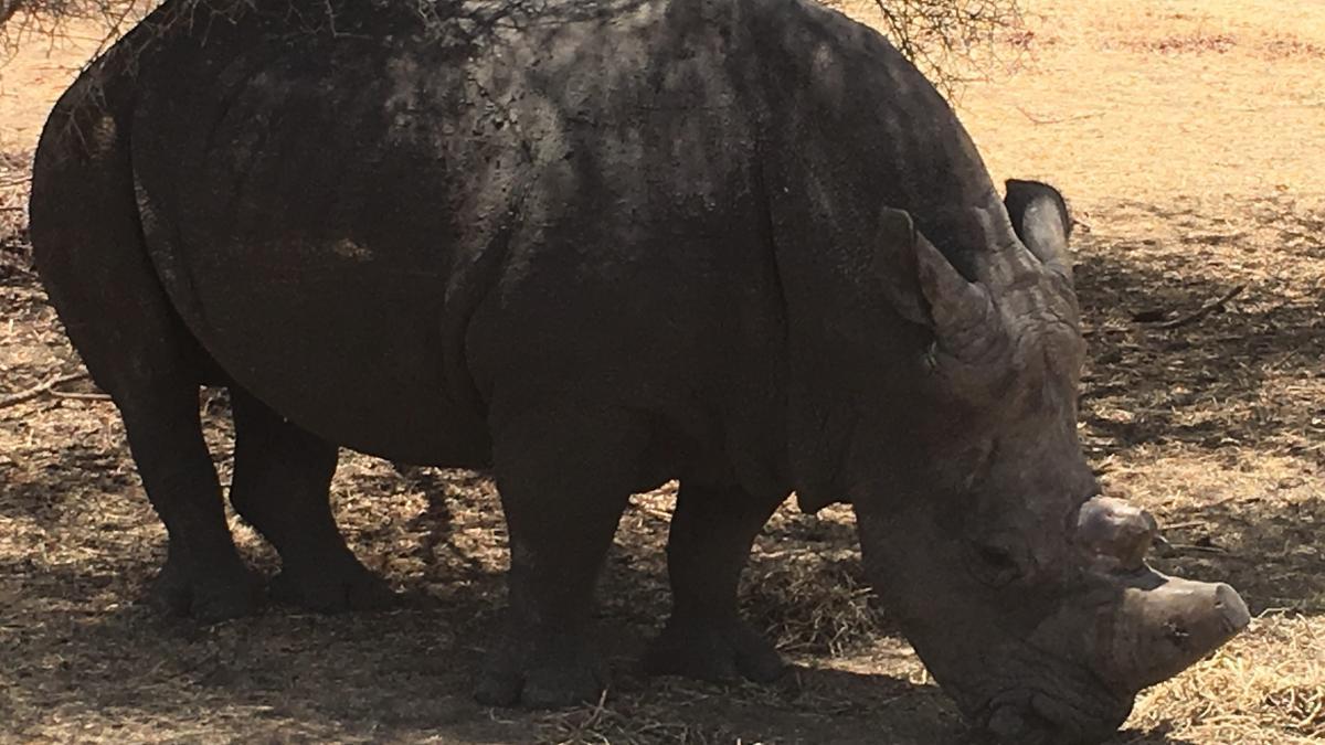 bandia rinoceronte